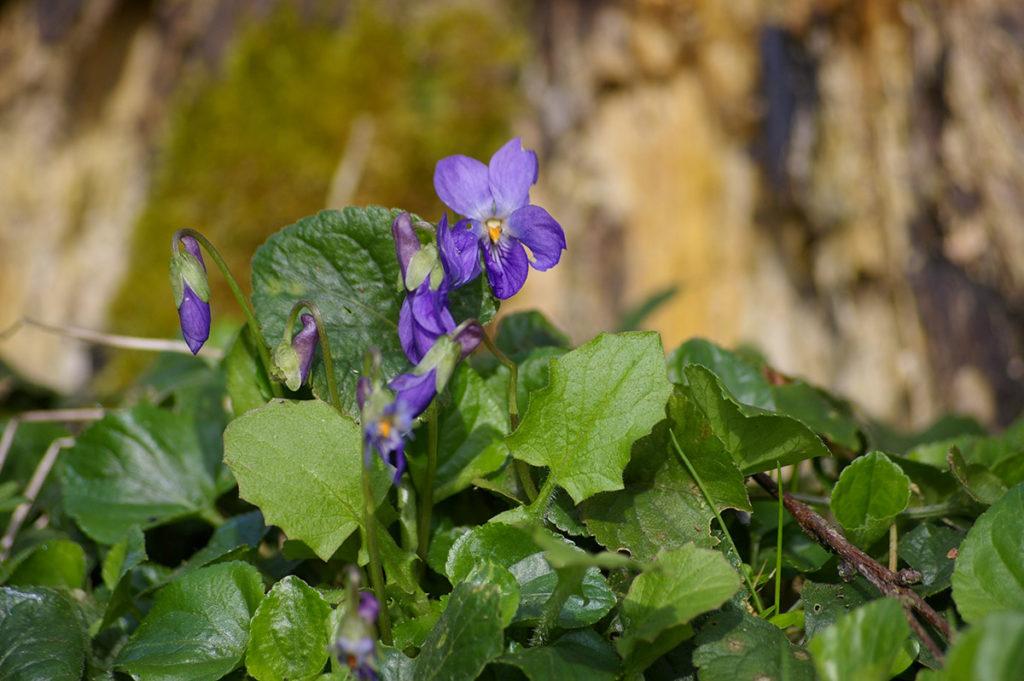 """""""10 years challenge"""" : mon évolution photographique. Macrophotographie de fleurs de violettes."""