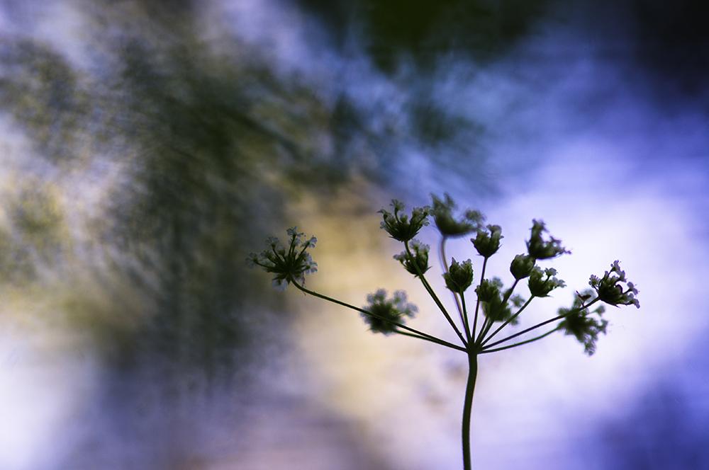 Ma passion pour la macrophotographie. Fleur de cerfeuil penché. Bokeh coloré.