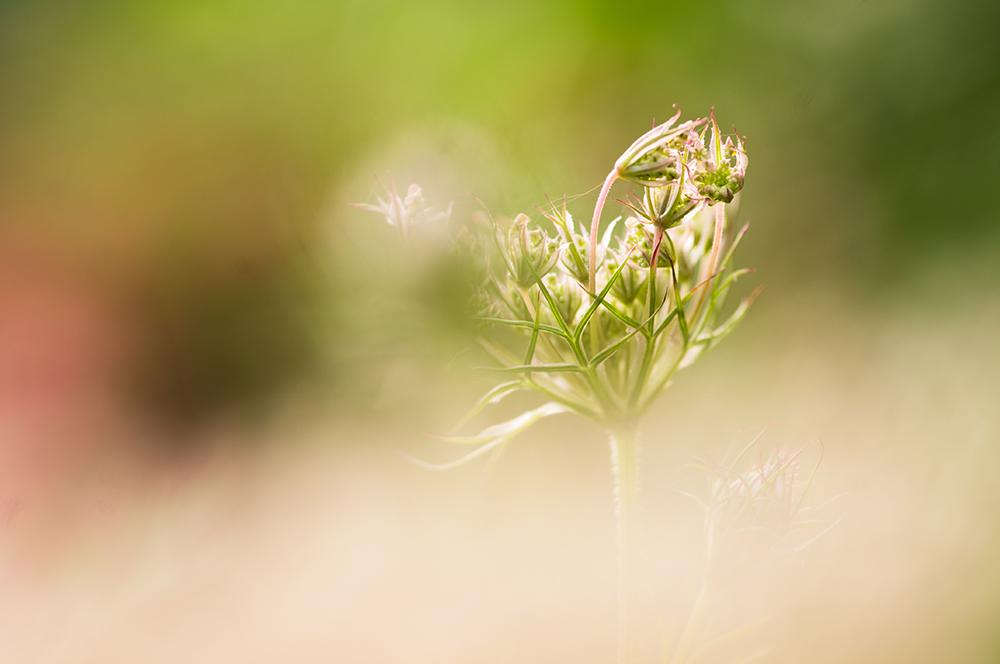 Ma passion pour la macrophotographie. Fleur de carotte sauvage.