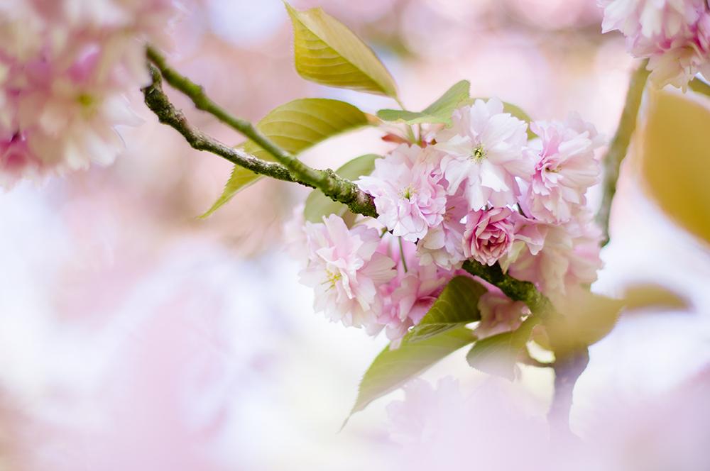 Ma passion pour la macrophotographie. Photo de cerisier en fleur au printemps.