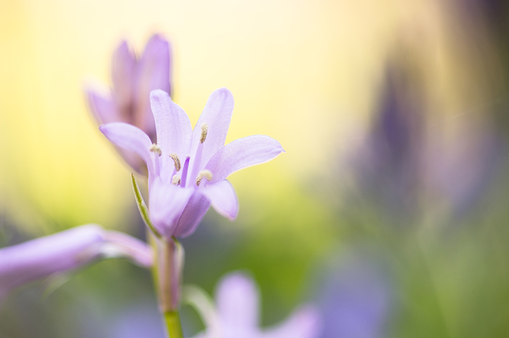 Ma passion pour la macrophotographie. Fleur de jacinthe des bois au printemps.