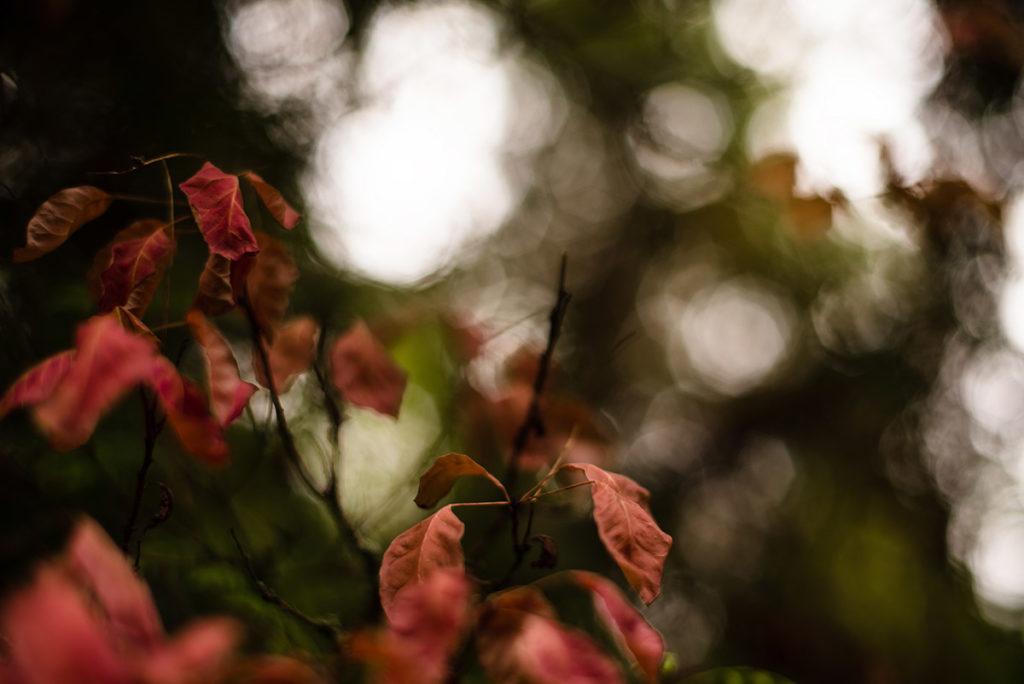 L'automne est là ! Photographie de feuillage rouge sur fond de tâches de lumière.