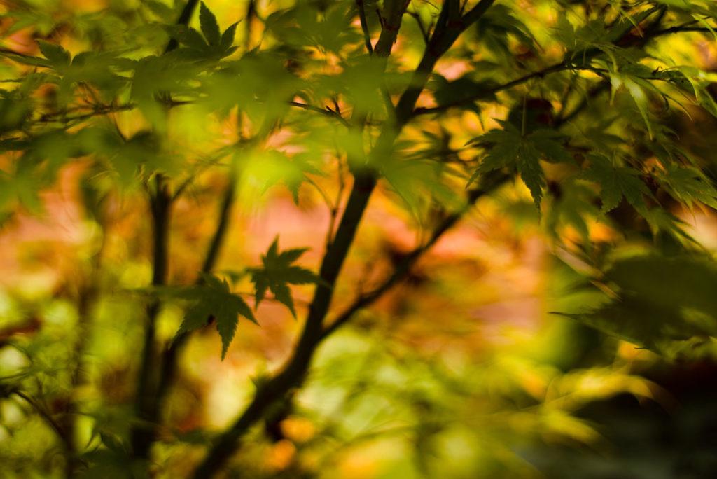 L'automne est là ! Photographie créative d'un érable du japon.