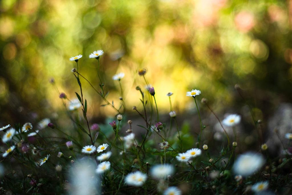 L'automne est là ! Petites fleurs de erigeron karviskianus.