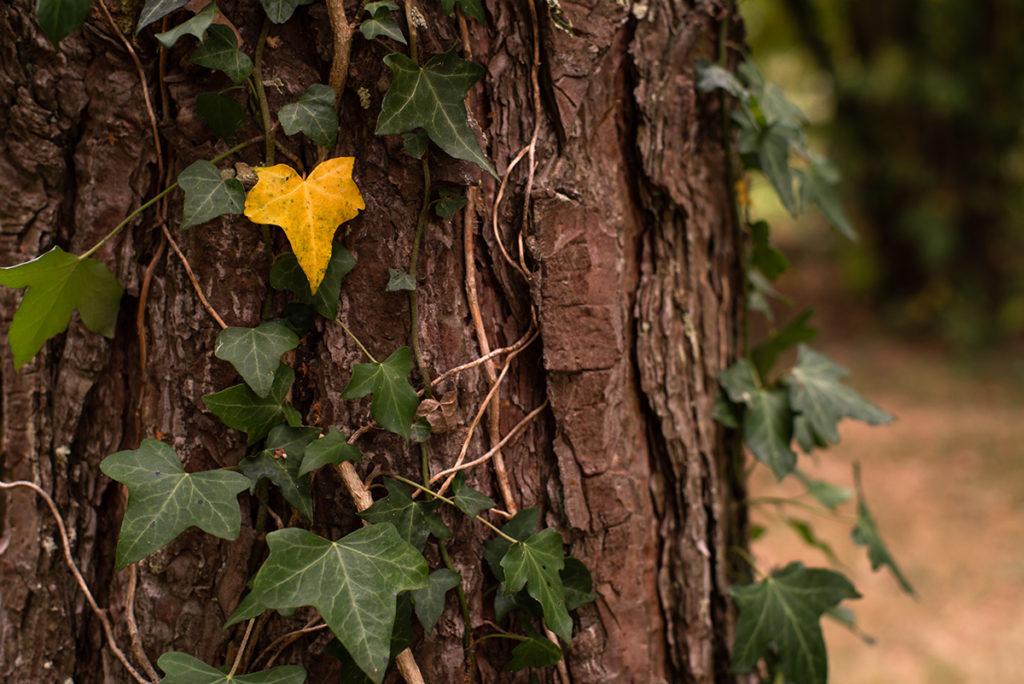 L'automne est là ! Lierre sur un tronc de pin, une feuille jaune contraste sur le reste.