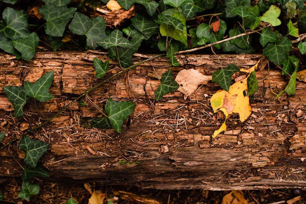 L'automne est là ! Photographie contrastée de lierre sur du bois en décomposition.