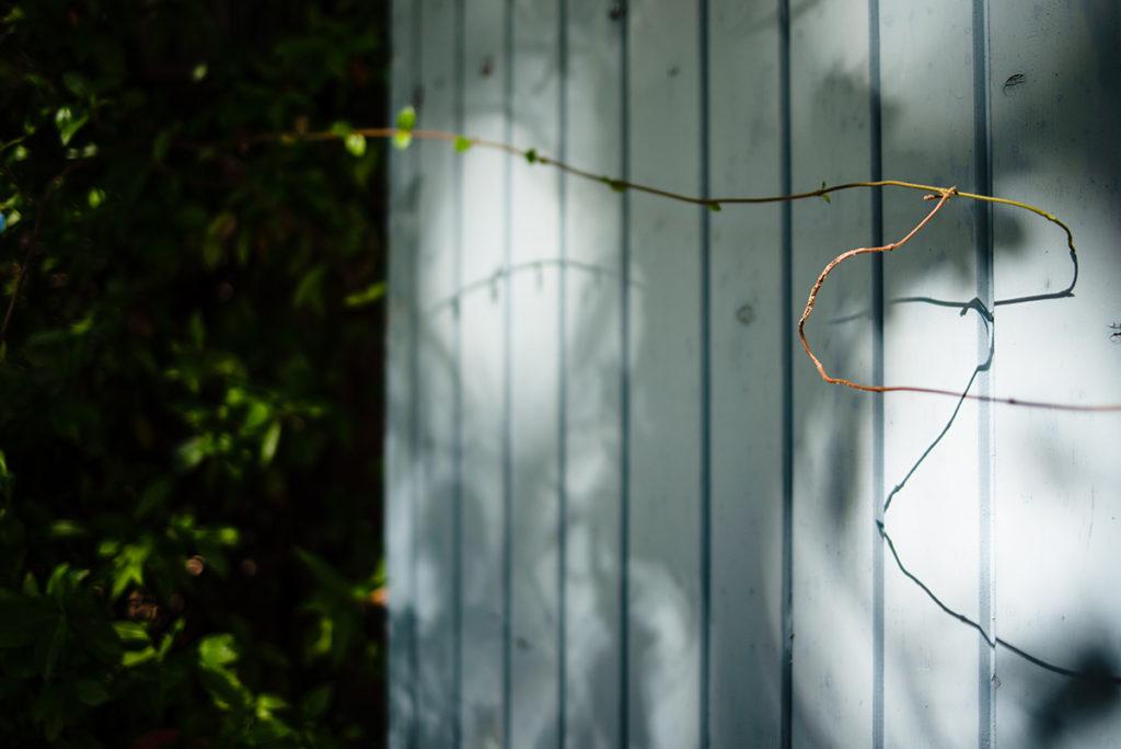 Et la lumière fut ! Détail d'une plante grimpante sur un volet.