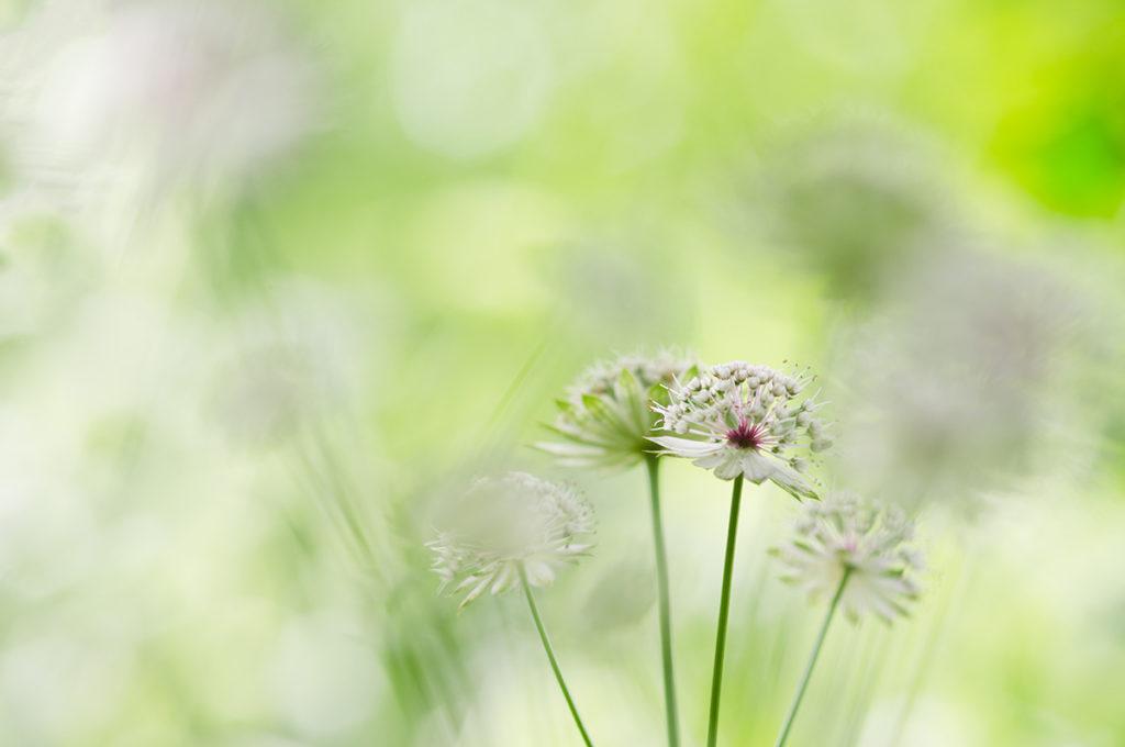 """""""10 years challenge"""" : mon évolution photographique. Macrophotographie de fleurs d'astrance."""