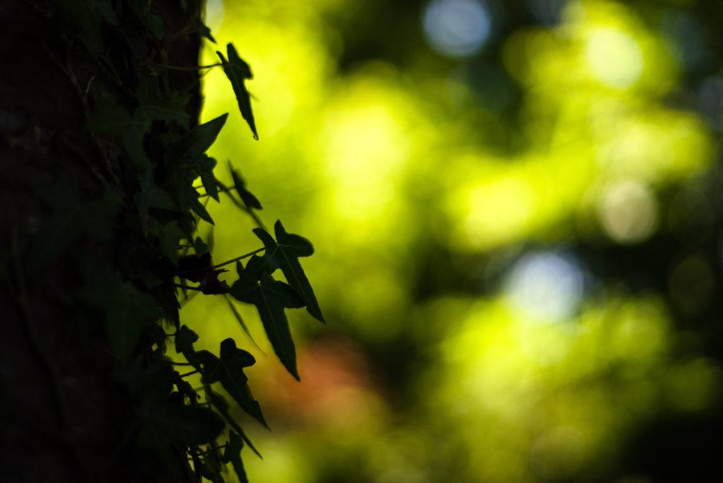 Photographier la nature. Photographie de lierre en contre-jour.