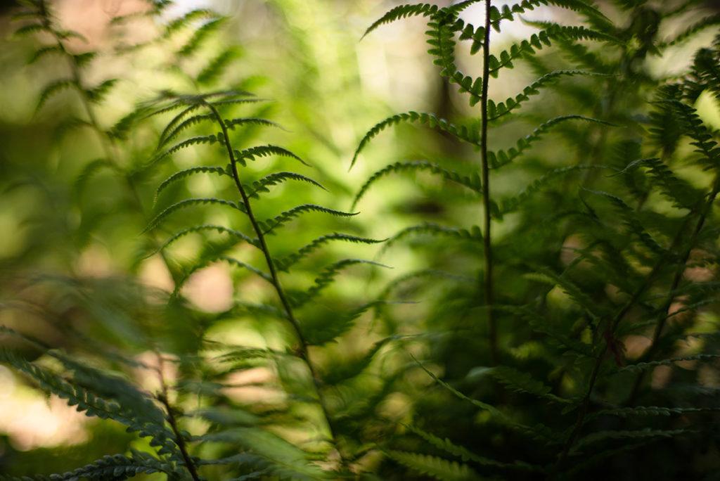 Photographier la nature. Photographie de fougères en sous-bois.