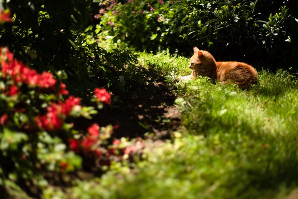 Photographier la nature. Photographie d'un chat dans un jardin.