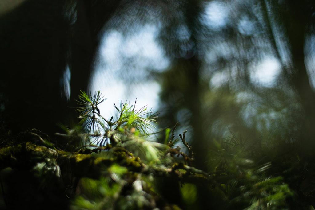 Photographier la nature. Photographie de d'une branche de pin.