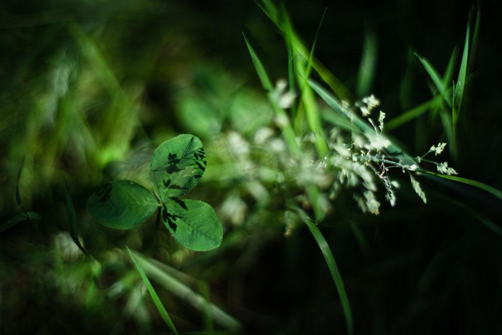 Photographier la nature dans son jardin. Photographie d'un trèfle.