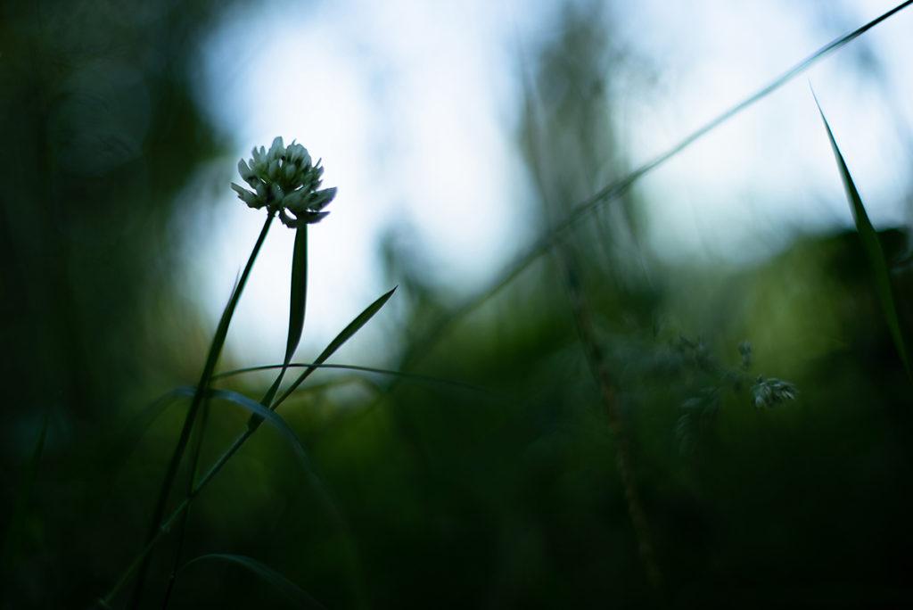 Photographier la nature dans son jardin. Photographie d'une fleur de trèfle en contre-jour.