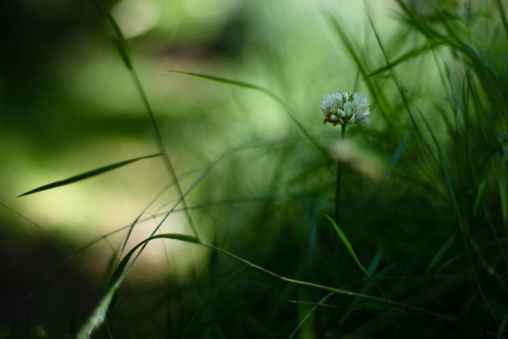 Photographier la nature dans son jardin. Photographie d'une fleur de trèfle.