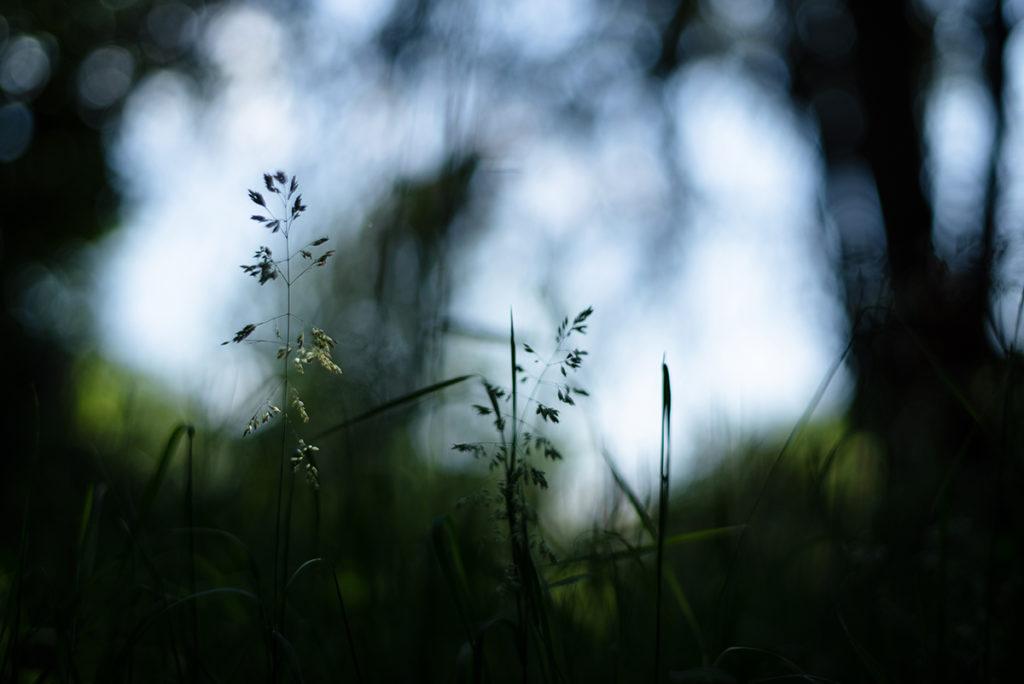 Photographier la nature dans son jardin. Photographie d'herbes en contre-jour.