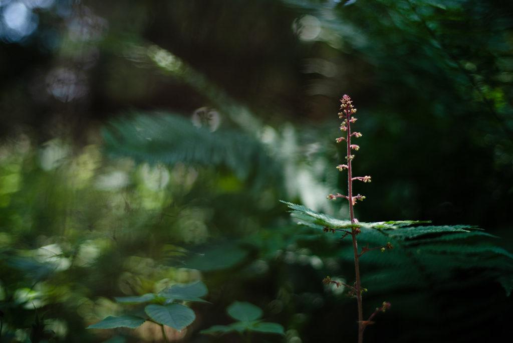 Photographier la nature dans son jardin. Photographie d'une fleur d'heuchère.