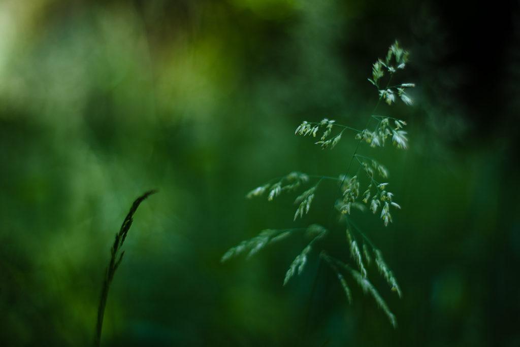 Photographier la nature dans son jardin. Photographie d'une herbe en mouvement.