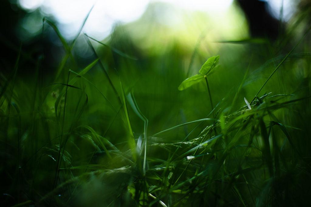 Photographier la nature dans son jardin. Photographie d'une trèfle au milieu de l'herbe.