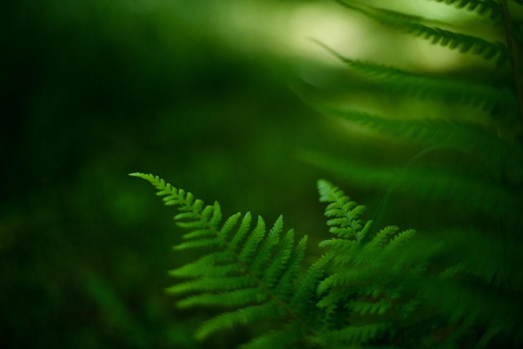 Photographier la nature dans son jardin. Photographie d'une fougère.