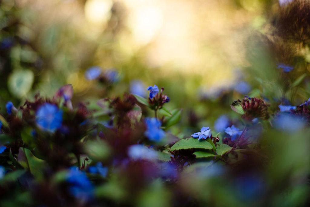 L'automne est là ! proxyphotographie de fleurs de ceratostigma plumbaginoide.