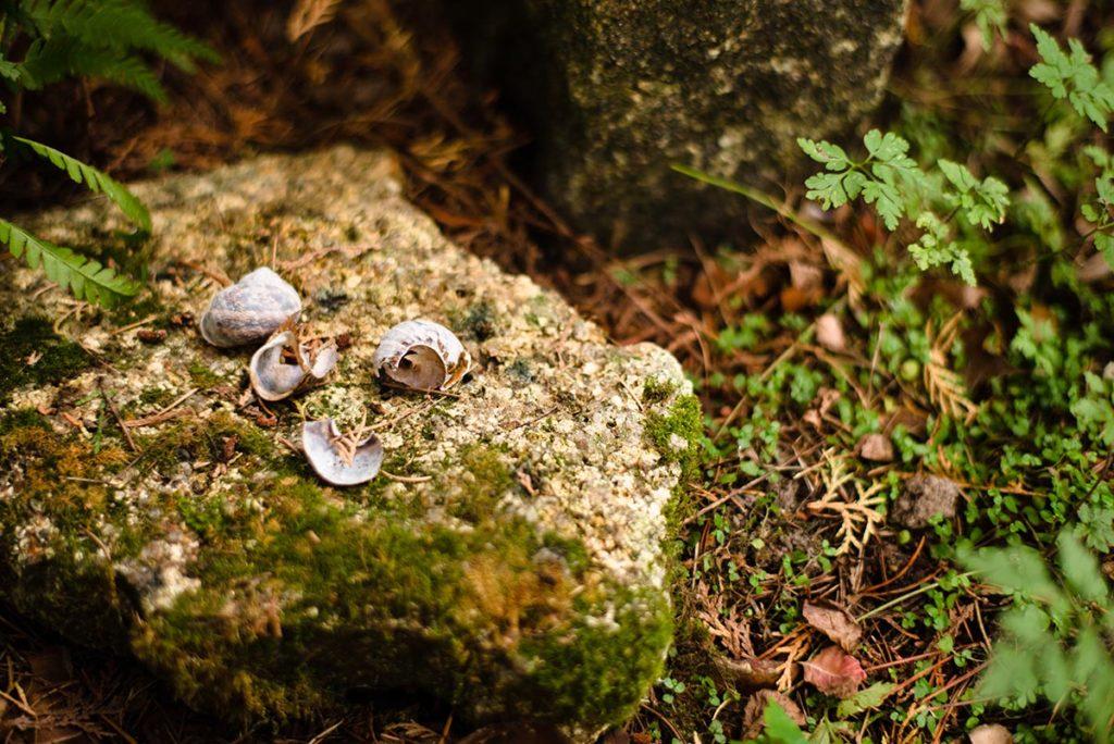 L'automne est là ! Coquilles d'escargot sur une pierre du jardin qui sert d'enclume aux grives.