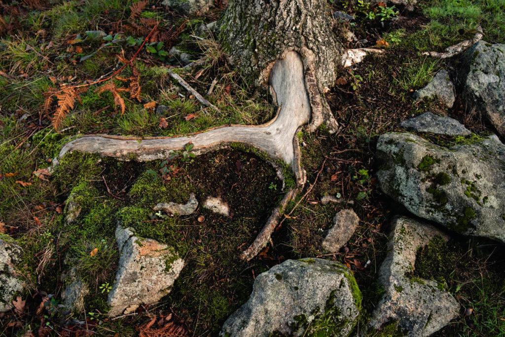 Sortie nature à la chapelle du Montaigu, en Mayenne. Photographie de détails au pied d'un arbre. Racine dénudée dans les mousses et les roches.