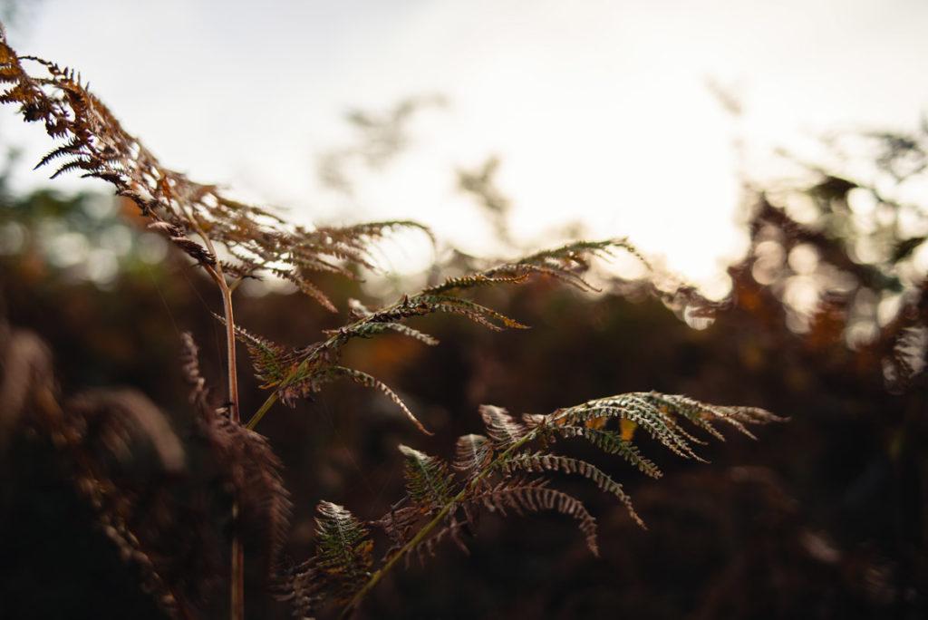 Sortie nature à la chapelle du Montaigu, en Mayenne. Photographie d'une fougère en contre-jour se parant de ses couleurs d'automne.