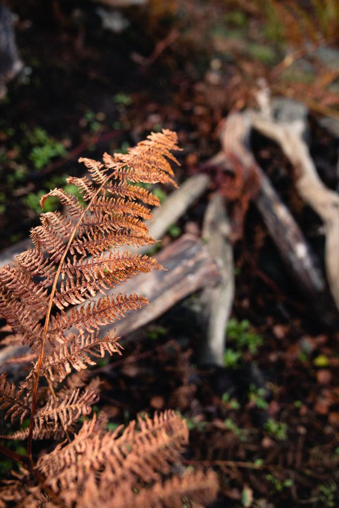 Sortie nature à la chapelle du Montaigu, en Mayenne. Fougère rousse sur fond de tas de bois.