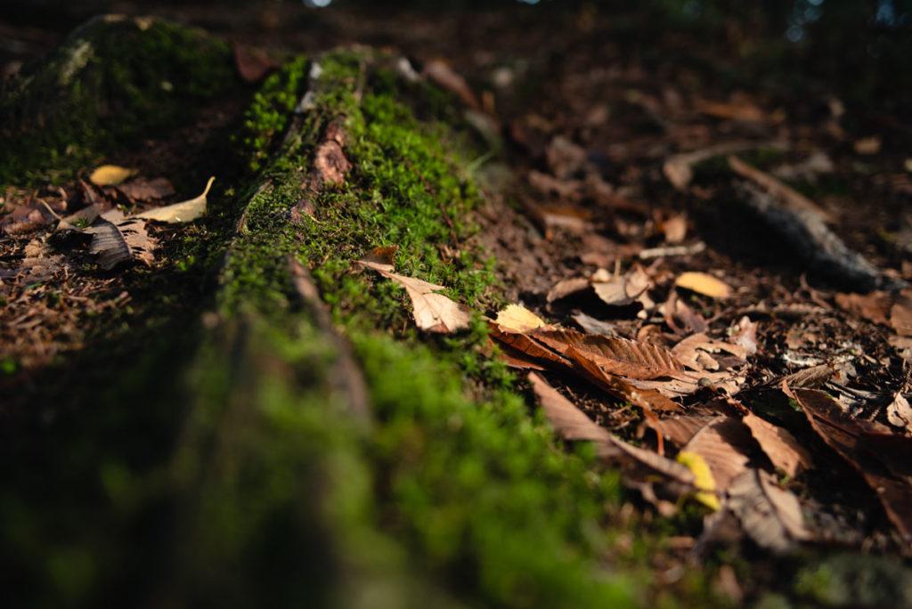 Sortie nature à la chapelle du Montaigu, en Mayenne. Vue du sol en sous-bois jonché de feuilles mortes, mousse sur des racines d'arbre.