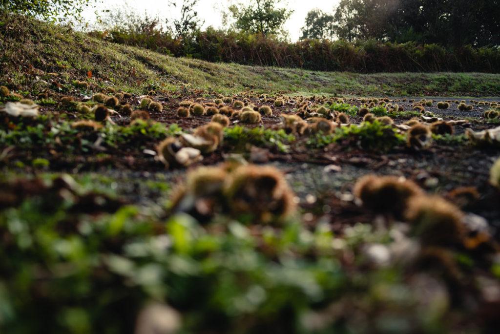 Sortie nature à la chapelle du Montaigu, en Mayenne. Prise de vue au ras du sol parsemé de châtaignes.