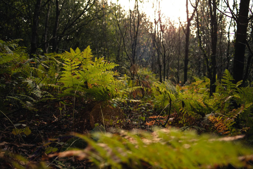 Sortie nature à la chapelle du Montaigu, en Mayenne. Fougères en contre-jour dans les sous-bois.