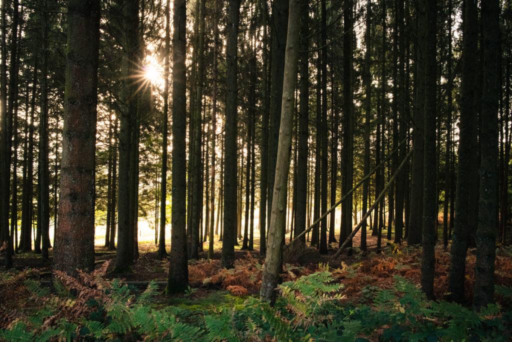Sortie nature à la chapelle du Montaigu, en Mayenne. Photographie du soleil matinal qui filtre à travers un sous-bois de pins.