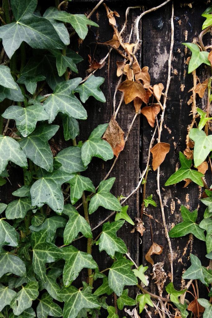 Formation à la macrophotographie avec le CPIE Mayenne. Photographie de détails, gros plan d'un cabanon de jardin à Fontaine Daniel en Mayenne. Lierre grimpant sur un pan de mur en bois.