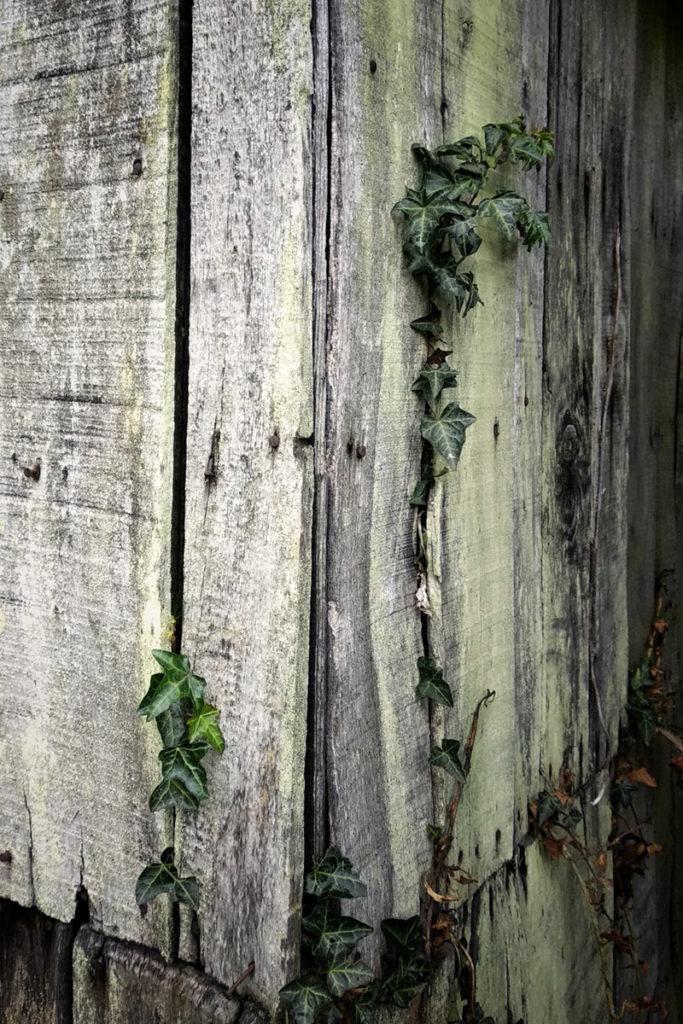 Formation à la macrophotographie avec le CPIE Mayenne. Photographie de détails, gros plan d'un cabanon de jardin à Fontaine Daniel en Mayenne. Texture du bois et lierre.
