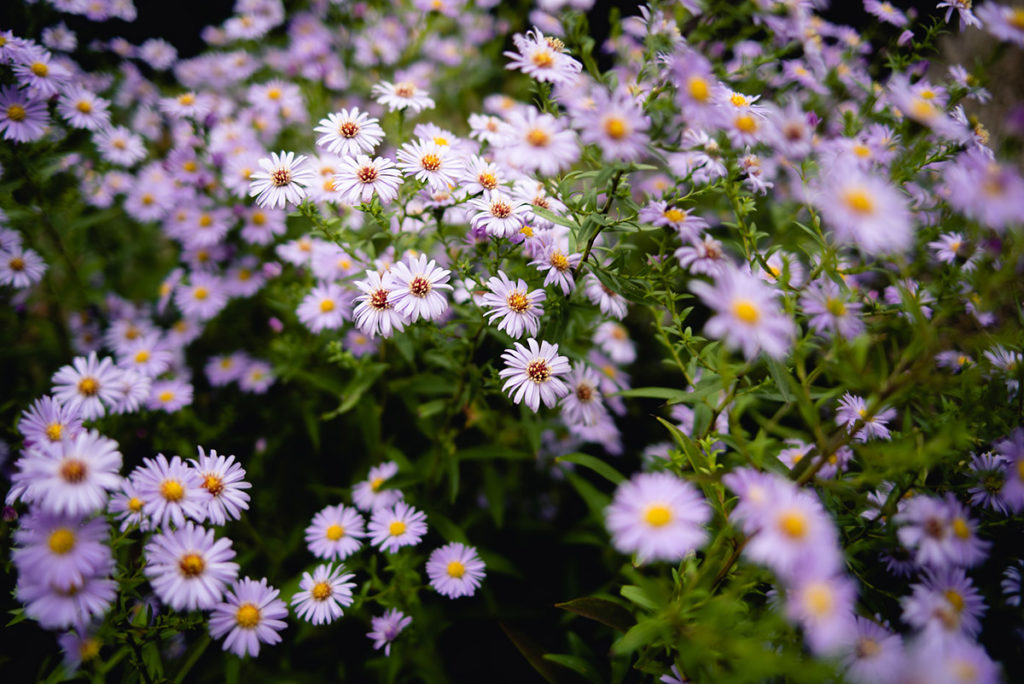 Cours de photographie débutant. Photographie de fleurs d'asters.