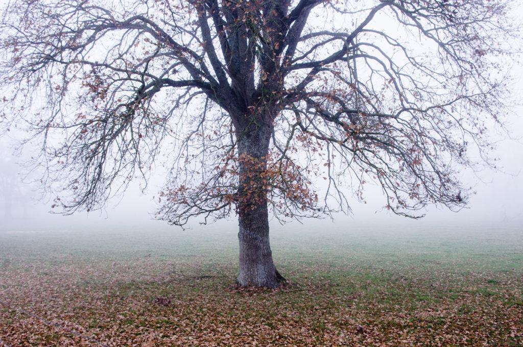 Cours de photographie débutant. Photographie d'un chêne en automne dans le brouillard.