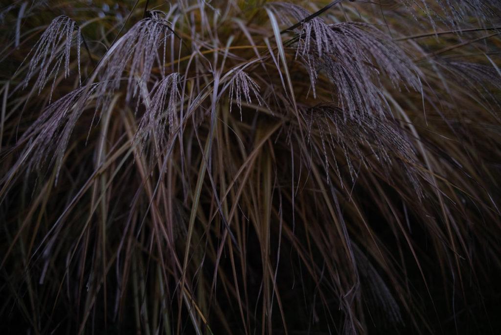Quand je photographie mon jardin à la nuit tombée (et dans le brouillard) ! Photographie d'une graminée dans le jardin aux heures crépusculaires. Photographe Pascaline Michon.