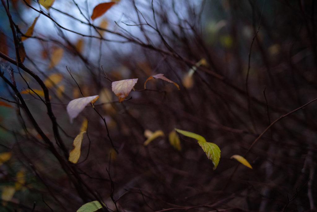 Quand je photographie mon jardin à la nuit tombée (et dans le brouillard) ! Buisson de spirée en hiver, quelques feuilles restent accrochées. Photographe Pascaline Michon.
