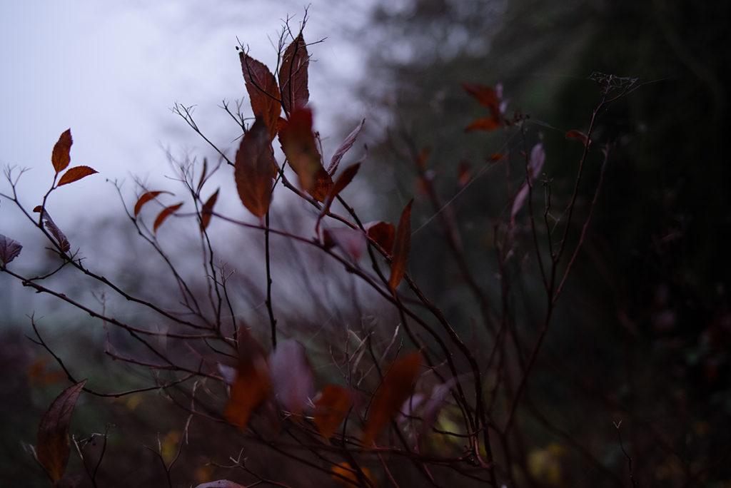 Quand je photographie mon jardin à la nuit tombée (et dans le brouillard) ! Buisson de spirée en hiver, les feuilles qui restent ont pris une couleur rouge. Photographe Pascaline Michon.