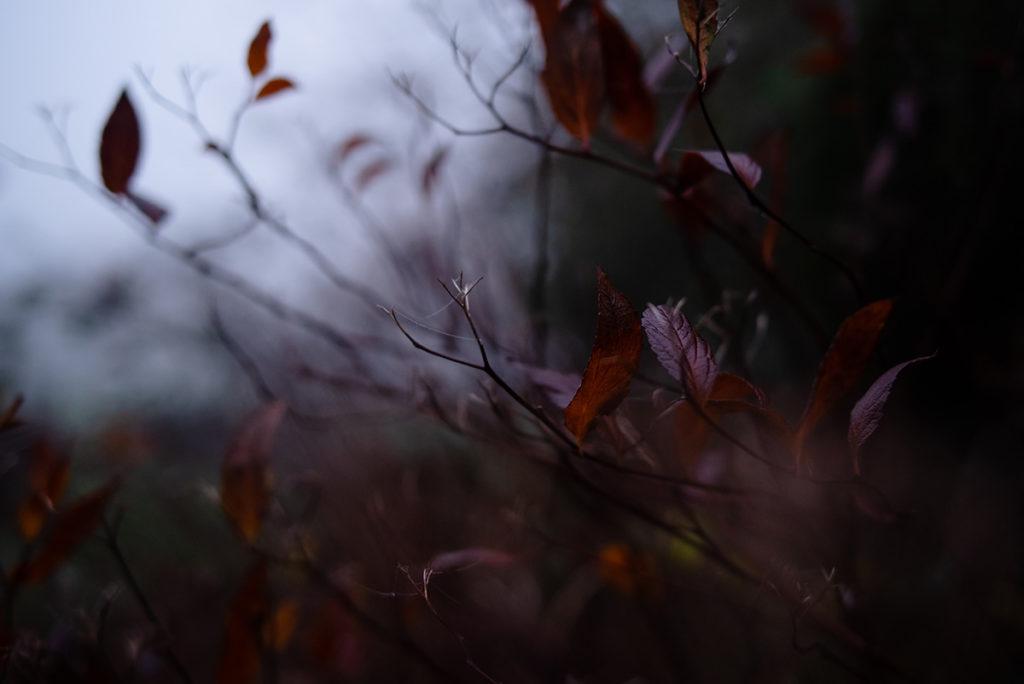 Quand je photographie mon jardin à la nuit tombée (et dans le brouillard) ! Buisson de spirée en hiver, les feuilles qui restent ont pris une couleur rouge.