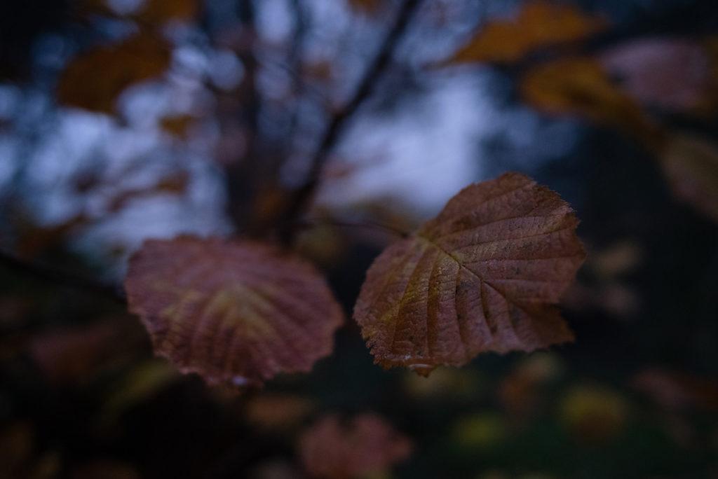 Quand je photographie mon jardin à la nuit tombée (et dans le brouillard) ! Feuilles de noisetiers roussies par l'hiver. Photographe Pascaline Michon.