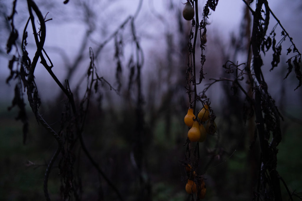 Quand je photographie mon jardin à la nuit tombée (et dans le brouillard) ! Le jardin en hiver, dernières tomates cerises rescapées... Photographe Pascaline Michon.