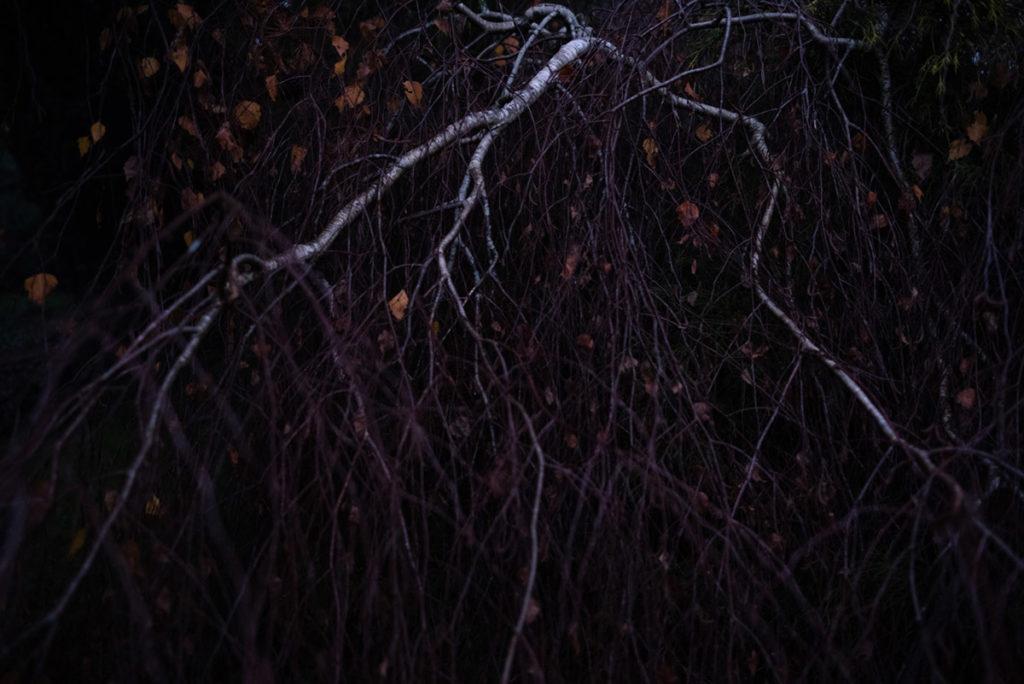Quand je photographie mon jardin à la nuit tombée (et dans le brouillard) ! Photographie d'une bouleau pleureur : les branches blanches ressortent sur l'ensemble plus sombre. Photographe Pascaline Michon.