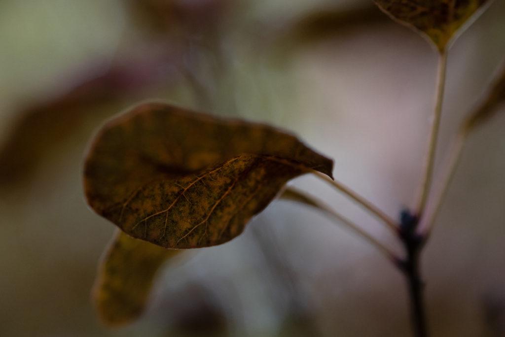 La photographie pour se reconnecter à ses ressentis. Photographie en faible profondeur de champ d'une feuille de cotinus.