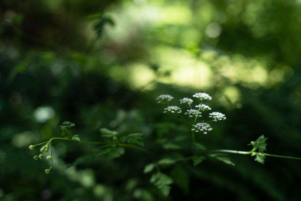 Fleurs de cerfeuil penché. Jardin naturel en Mayenne