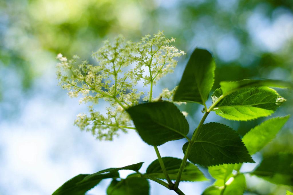 Fleur de sureau. Accueillir des plantes sauvages dans son jardin.