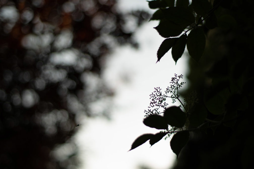 Fleurs de sureau. Une de mes valeurs phare : la simplicité.