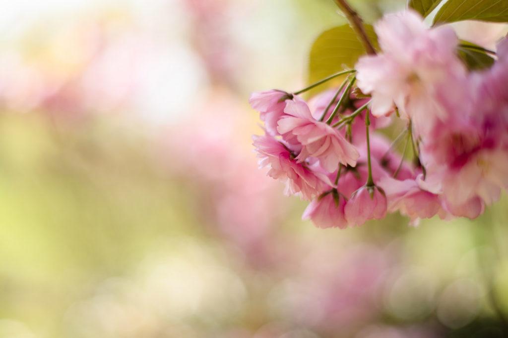 Fleurs de cerisier japonais dans le jardin.