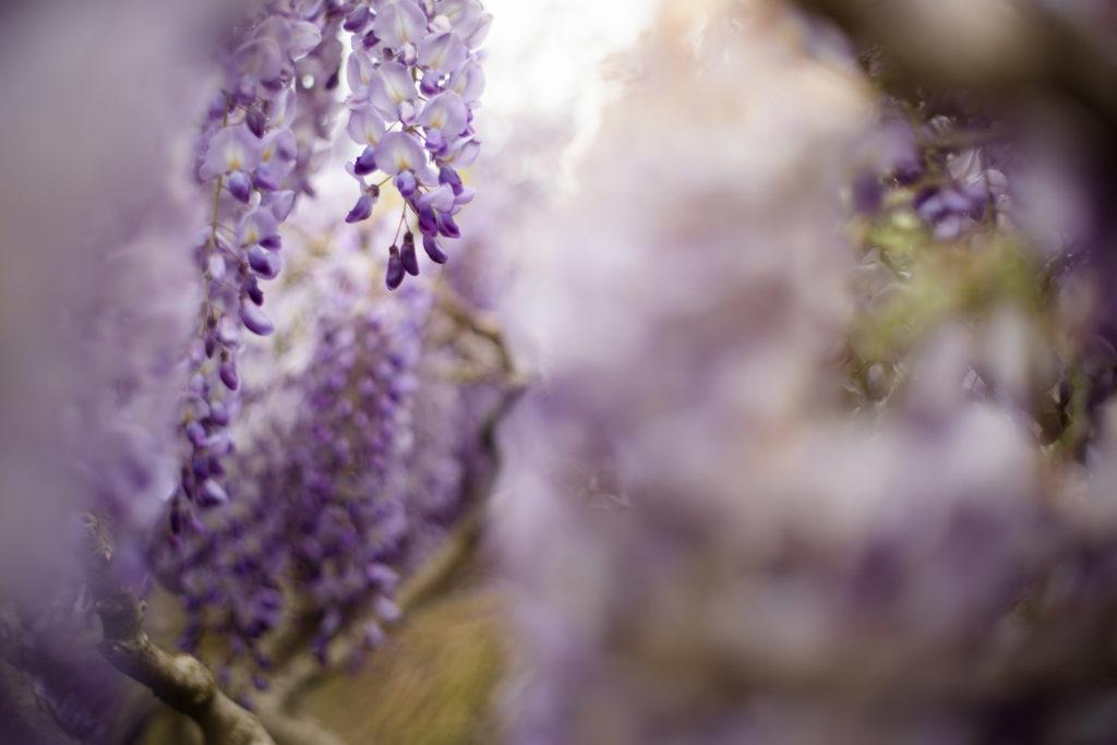 Une de mes valeurs phares : la simplicité. Fleurs de glycine dans le jardin.